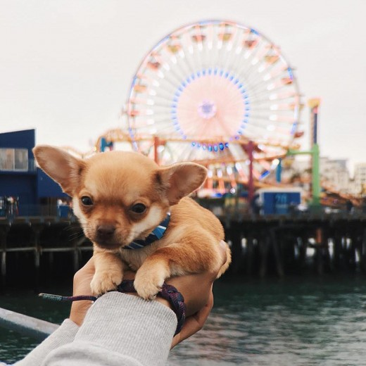 Just-Living-the-Dream-Santa-Monica-Pier-Pacific-Park-Puppy-Selfie-7-18-2016-1