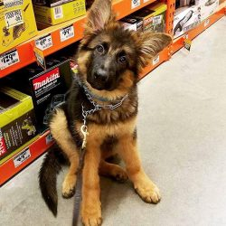 Leo Von Pupster the Cute German Shepherd Puppy at The Home Depot