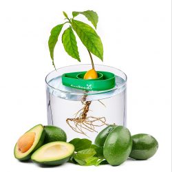 Avocado Tree Starter Kit – Set of 3