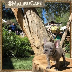 ᗰᑌᖇᑭᕼY ᗷᒪᑌE the French Bulldog Puppy at The Malibu Cafe?