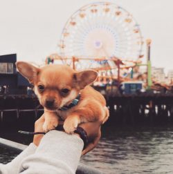 Boomer the Chihuahua Puppy at the Santa Monica Pier