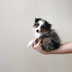 Avery the Toy Australian Shepherd